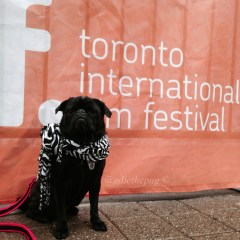 A Pug on the Red Carpet – TIFF15