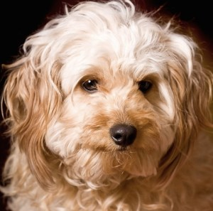 Discovering Crossbreed Dogs - Co-operative Insurance