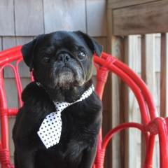 Interviews from Edie's Pug House – Hamilton Pug