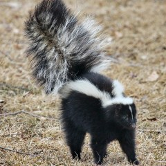 Skunks, Dogs, Stink and Rabies