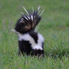 Skunks and Dogs – Every Dog Parents Nightmare
