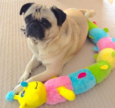 Interviews from Edie's Pug House - Dexter the Pug