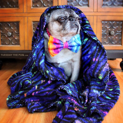 Interviews from Edie's Pug House - Tuesday the Pug