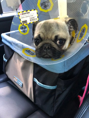 Puppy's First Year - Month 6 - Spay Surgery