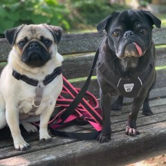 This Week with Edie & Edna the Pugs