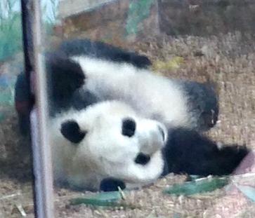 Atlanta Panda