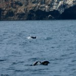 Channel Islands NP dolphins