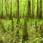 Congaree NP cypress knees