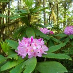 Redwood NP rhododendron