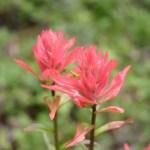 Waterton Lakes NP wildflower