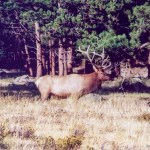 Rocky Mountain NP elk