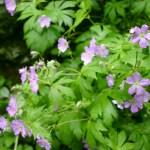 Shenandoah NP wildflowers