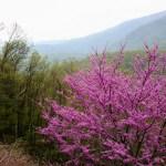 Shenandoah NP pink tree