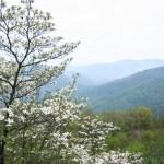 Shenandoah NP dogwood