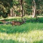 Yosemite NP deer