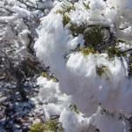 Capulin Volcano icy pine