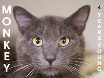 Animal Rescue League of Boston adopt adult cat