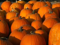 Free pumpkins at Belkin Lookout Family Farm