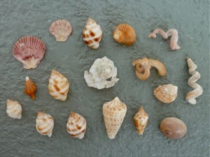 Shell collection South Seas Captiva