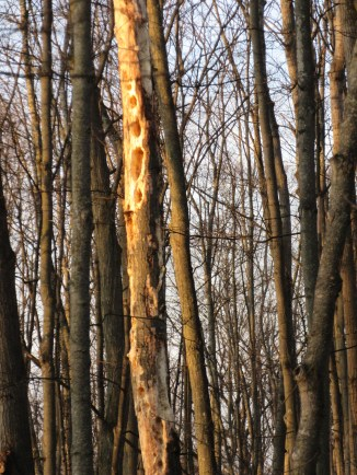 """Another tree """"drilled"""" by Pileated Woodpeckers."""