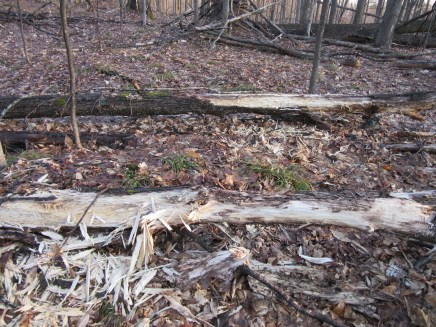 These fallen trees were shredded by Pileated Woodpeckers.