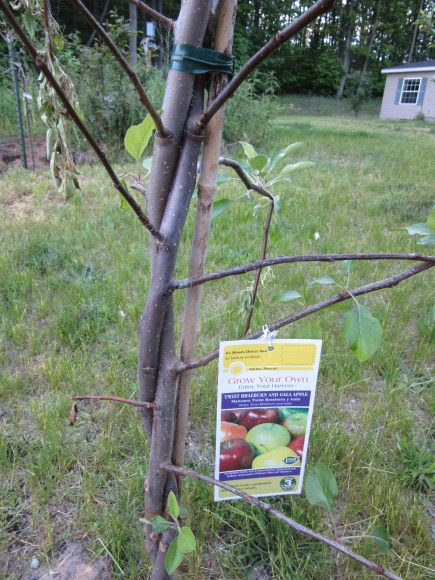 Braeburn and Gala Apple Trees twisted together into one.