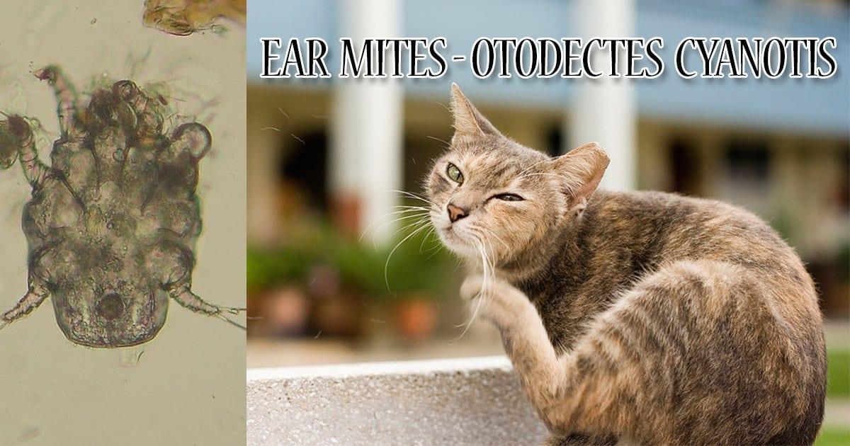 Ear mites - Otodectes cyanotis