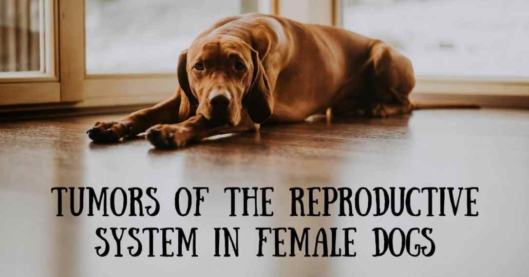 Tumors Of The Reproductive System In Female Dogs I Love Veterinary