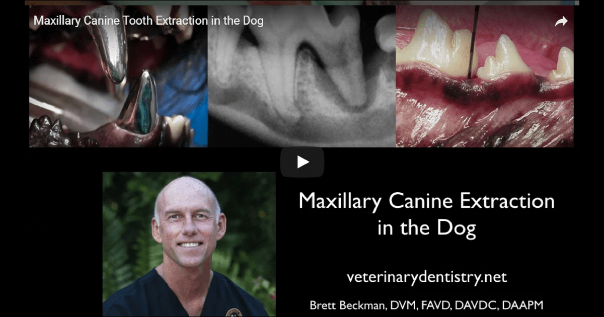 Maxillary Canine Tooth Extraction in the Dog cover image