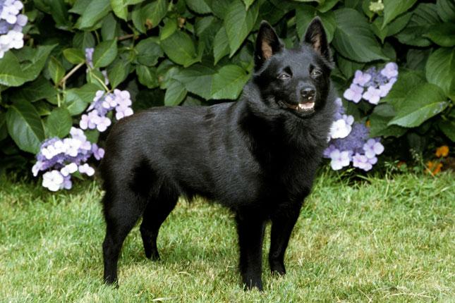 Schipperke | Il perfetto cane