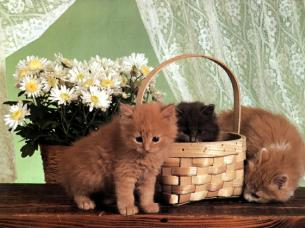 Ouriel_-_Chat_-_0051-Brown_Domestic_Cats-kittens_with_basket
