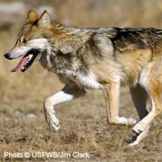 DOW-MexicanGrayWolf2_250