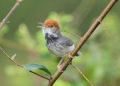 cambodian_tailorbird170
