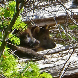 OR_7_pups_ Rogue_River_Siskiyou_National_Forest_usfws_FPWC.jpg