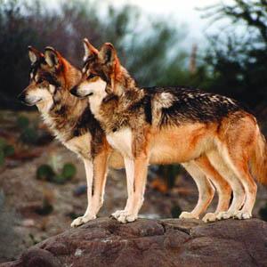MexicanGrayWolf_ValHalstead_WolfHavenInternational_FPWC_HIGHRES.