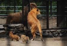 incrocio-leone-tigre