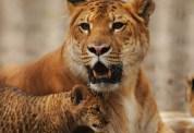 liger-ita
