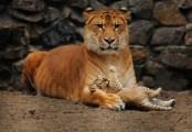 mamma-liger