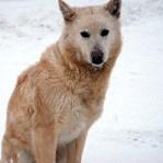 northern_dog_girl_gg