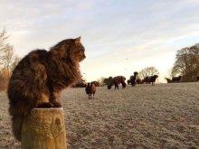 MI-Bodacious-the-Irish-shepherd-cat