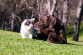 Outdoor relationship comp portrait of a German Shorthaired Pointer and a white and black cat in the foothills who are best friends.