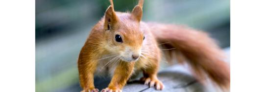 redsquirrel_emailheader