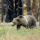 Grizzly walking in flowers