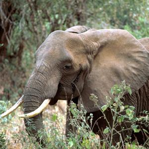 African elephant, Loxodonta africana, Gary Stolz, USFWS