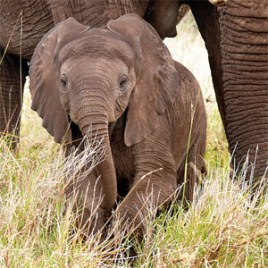Baby_elephant_pic_Flickr_Mara_1