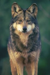 Mexican gray wolf, Canis lupus baileyi, Robin Silver