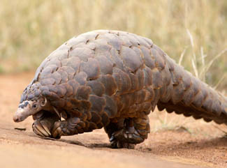 Pangolin_Flickr_DavidBrossard_325