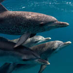 Dolphins_Flickr_WillyVolk_150