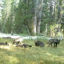 Gray_wolves_Shasta_Pack_CAFW