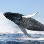 Oceana-SaveWhales_250